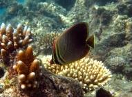 triangular-butterflyfish-chaetodon-baronessa-butterflyfishes-chaetodontidae_606