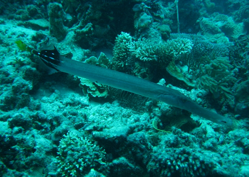 Trumpetfish Nautilus Scuba Club Cairns