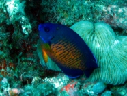 two-spined-angelfish-centropyge-bispinosus-angelfishes-pomacanthidae_11278