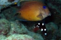 twospot-bristletooth-ctenochaetus-binotatus-surgeonfishes-acanthuridae_21685