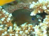 twospot-bristletooth-ctenochaetus-binotatus-surgeonfishes-acanthuridae_juv_33292