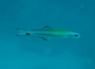 twotone-dartfish-ptereleotris-evides-dartfishes-ptereleotridae_juv_6516