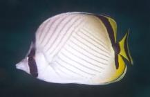 Vagabond Butterflyfish_Chaetodon vagabundus_Butterfly fish_Chaetodontidae