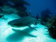 whitetip-reef-shark-triaenodon-obesus-weasel-sharks-hemigaleidae_25639