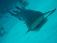 whitetip-reef-shark-triaenodon-obesus-weasel-sharks-hemigaleidae_25641