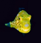juvenile-filefish