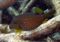 yellow-boxfish-ostracion-cubicus-boxfishes-ostraciidae_10080