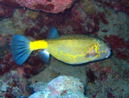 yellow-boxfish-ostracion-cubicus-boxfishes-ostraciidae_14007