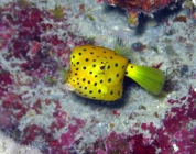 yellow-boxfish-ostracion-cubicus-boxfishes-ostraciidae_juv_20259