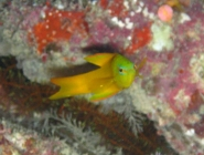 yellow-devilfish-assessor-flavissimus-longfins-plesiopidae_21210