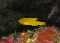 yellow-devilfish-assessor-flavissimus-longfins-plesiopidae_39269
