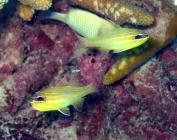 yellow-striped-cardinalfish-apogon-cyanosoma-cardinalfishes-apogonidae_33242