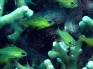yellow-striped-cardinalfish-apogon-cyanosoma-cardinalfishes-apogonidae_3691