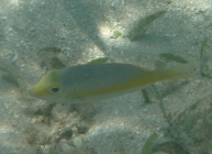 yellow-tailed-emperor-lethrinus-atkinsoni-emperors-lethrinidae_juv_21359