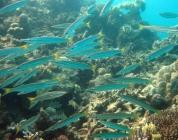 yellowtail-barracuda-sphyraena-flavicauda-barracudas-sphyraenidae_2459