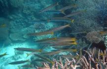 yellowtail-barracuda-sphyraena-flavicauda-barracudas-sphyraenidae_2461