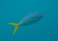 yellowtail-fusilier-caesio-cuning-fusiliers-caesionidae_467